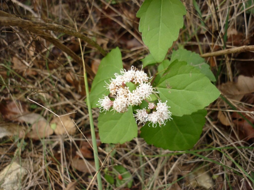 Boneset blooming in January
