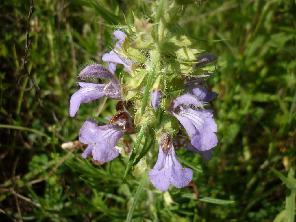 Engelmann salvia. Salvia engelmannii