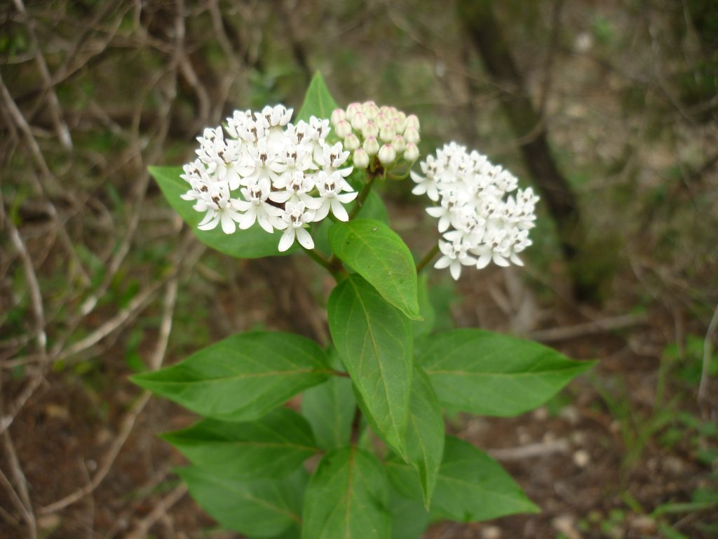 Texas milkweed Aesclepias texana