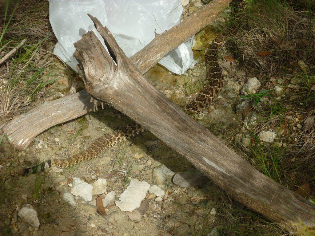 western-diamond-backed-rattlesnake.-Crotalus-atrox.2