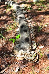Ligustrum log inoculated with turkey tail fungus.