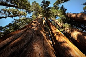 Giant sequoias in the Sierra Nevada range can grow to be 250 feet tall — or more