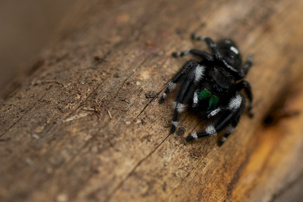 January Monthly Meeting – Jumping Spiders of Texas @ Austin Nature and Science Center | Austin | Texas | United States