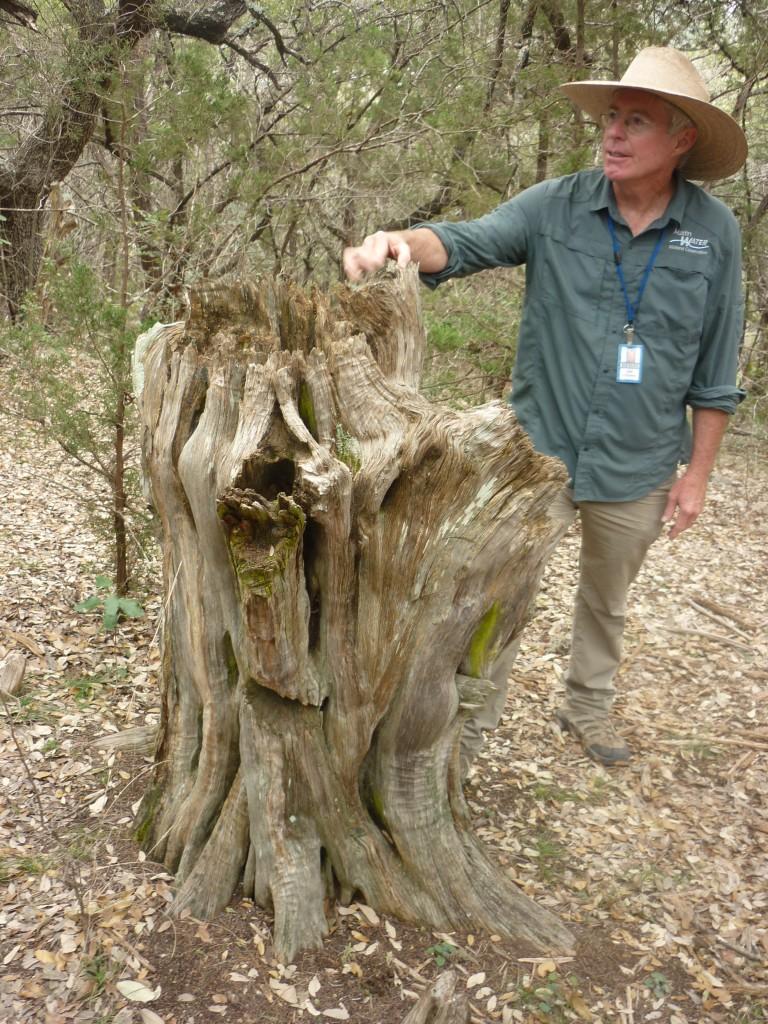 300.year.old.stump.of.a 300.year.old.cedar.tree