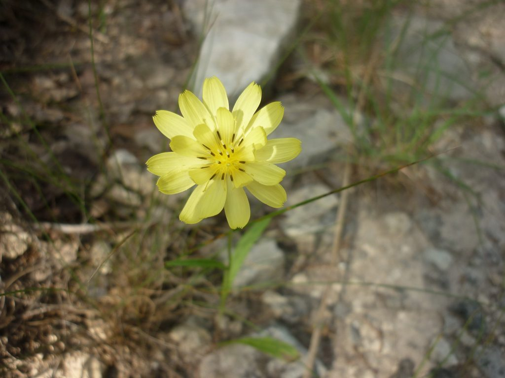 Texas dandelion.Pyrrhopappus multicaulis
